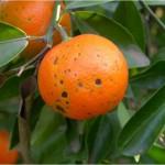 Lesiones necróticas causadas por A. alternata en fruto de 'Fortune'