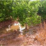 Figura 6.- Condiciones adecuadas para el desarrollo de Phytophthora en una parcela encharcada después de unas lluvias.