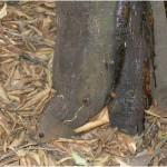 Figura 4.- Injerto excesivamente bajo. El contacto de la variedad con el suelo facilita las infecciones de Phytophthora.