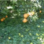 Figura 3.- Parcela con cubierta vegetal de Oxalis sp. para evitar las salpicaduras de lluvia.