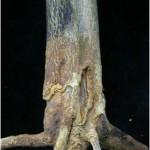 Figura 1.- Podredumbre del cuello en un árbol joven injertado sobre Citrange 'Carrizo'