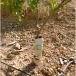 Figura 5.- Protecciones plásticas impermeables que favorecen la acumulación de agua y las infecciones de Phytophthora.