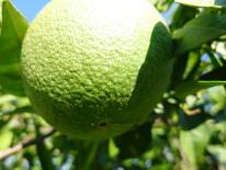 Fruto afectado por E. orientalis