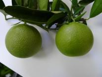 Frutos afectados