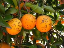 Frutos de naranja con lesiones de mancha negra causadas por Phyllosticta citricarpa (Sudáfrica).