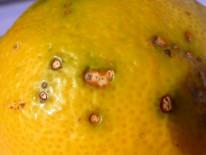 Fruto de limón con lesiones de mancha negra donde pueden observarse los picnidios de Phyllosticta citricarpa (Sudáfrica).