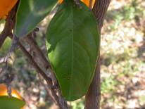 Hoja de naranjo con lesiones de mancha negra causadas por Phyllosticta citricarpa (Sudáfrica).
