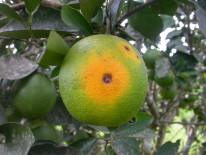 Fruto de naranja con una lesión necrótica causada por Pseudocercospora angolensis (Ghana).