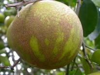 Fruto de pomelo con lesiones agregadas de melanosis por acción de la lluvia (Florida, EE.UU.).