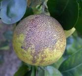 Fruto de pomelo afectado por melanosis (Florida, EE.UU.).