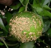 Fruto de mandarina con abundantes lesiones de sarna causadas por Elsinoë fawcettii (Florida, EE.UU.).
