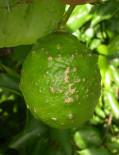 Fruto de limón con pústulas suberosas de sarna causada por Elsinoë fawcettii . (Florida, EE.UU.)