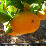 Campaña seguimiento mosca de la fruta 2019