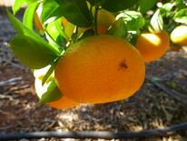 Campaña seguimiento mosca de la fruta (Ceratitis capitata) 2016