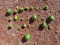 Figura 5.- Diversos frutos con daños característicos de D. aberiae